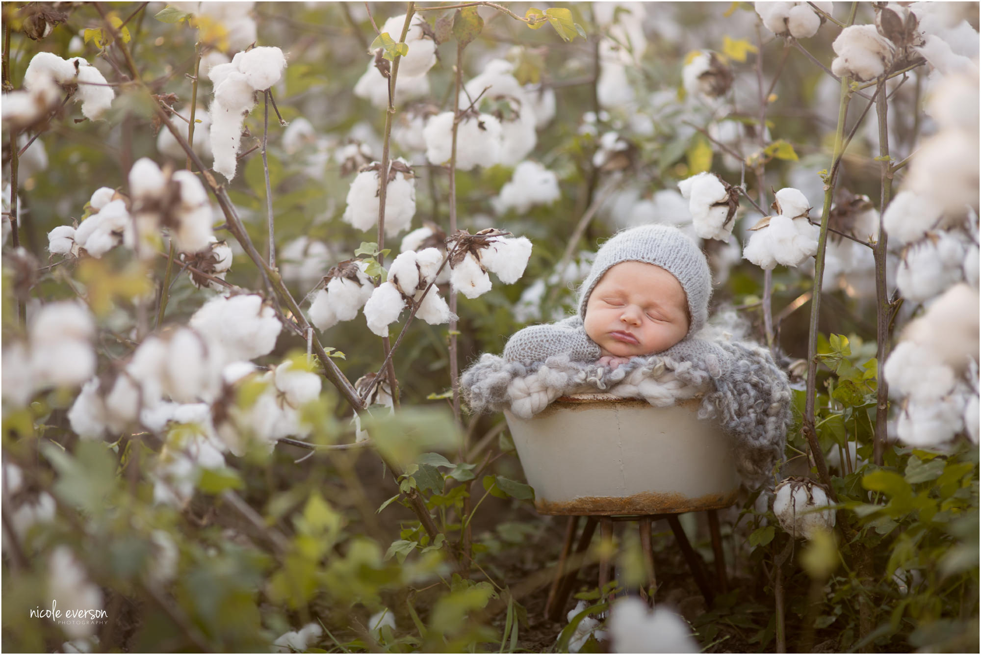 newborn baby photographed outside in a cotton filed sleeping in a vintage wheel barrel